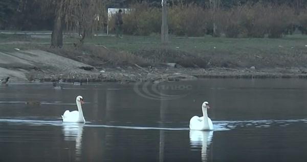 Местная достопримечательность: в Славянске на озере Репное поселились лебеди (ВИДЕО)