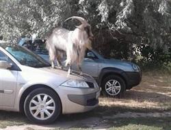 Как козел залез на капот автомобиля на «Славкурорте» и стал звездой интернета
