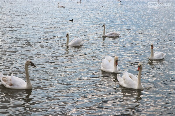 В Славянске запретили кормить диких лебедей хлебом