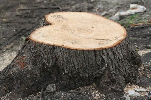 За дубы ответит: 37-летний житель Краматорска пойдет под суд из-за вырубки деревьев в Славянском районе