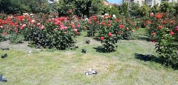 Блогер показал, как в Славянске расцвели розы на Соборной площади (ВИДЕО)